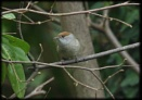Female Blackcap by HobbitDave