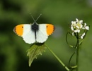 Orange tip butterfly by HobbitDave