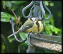Great Tit feeding youngster by HobbitDave
