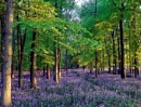 Bluebell as far as I can see. by peterthowe