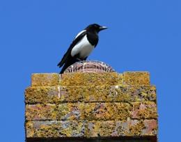 Magpie on chimney