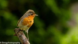 Young Mr Robin