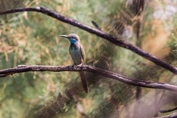 Bee-eater by WorldInFocus