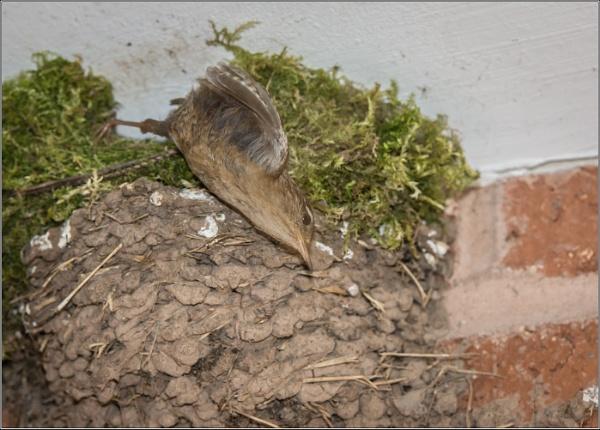 Wren Leaving the Nest by Otinkyad