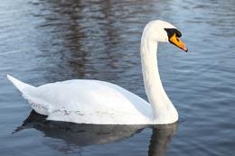 Swan at Footscray
