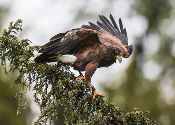Harris Hawk in fir tree by matrix45
