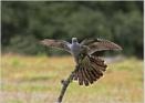 Cuckoo's Back! by Lillian