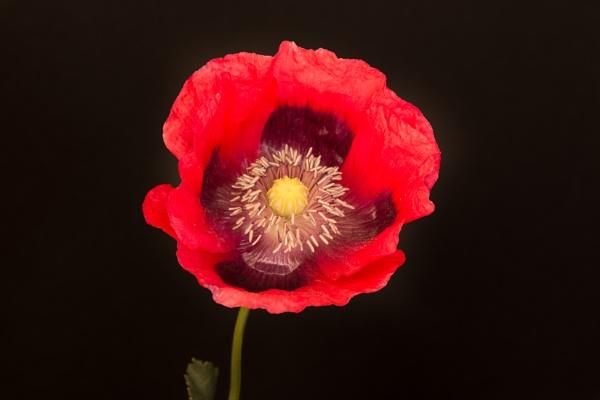 Poppy by iNKFIEND