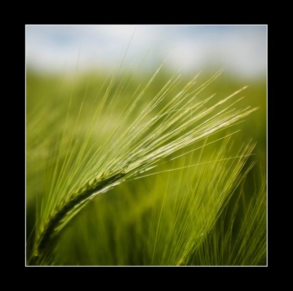 Barley by icphoto