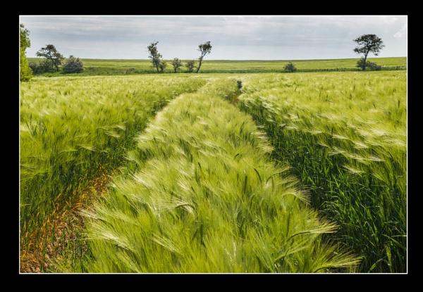 Barley Field by icphoto