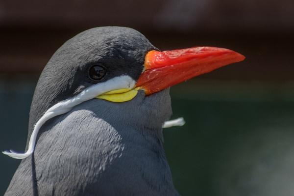 Inca Tern by Alan_Baseley