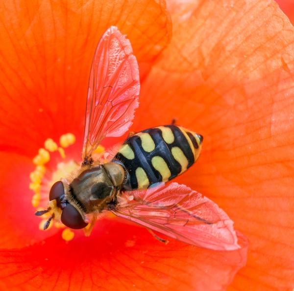 Hoverfly (Eupeodes corollae) on Poppy by jasonrwl