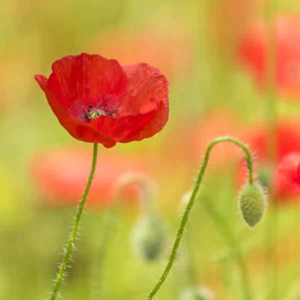 Poppy by iancrowson