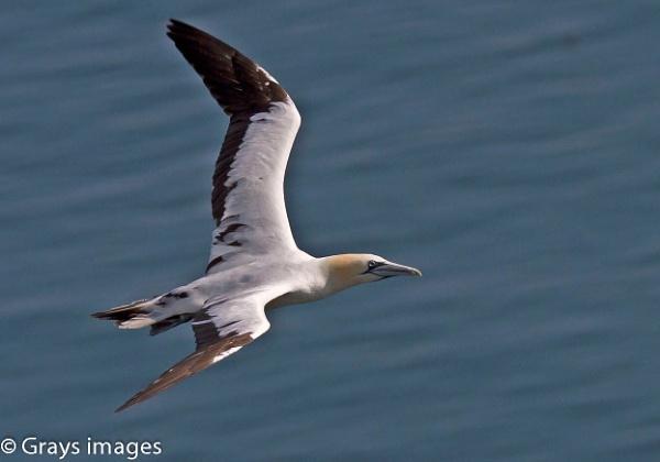A Gannet in Flight by p147180r