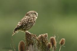 Mr Owl......