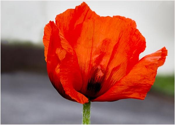 First Poppy by Irishkate
