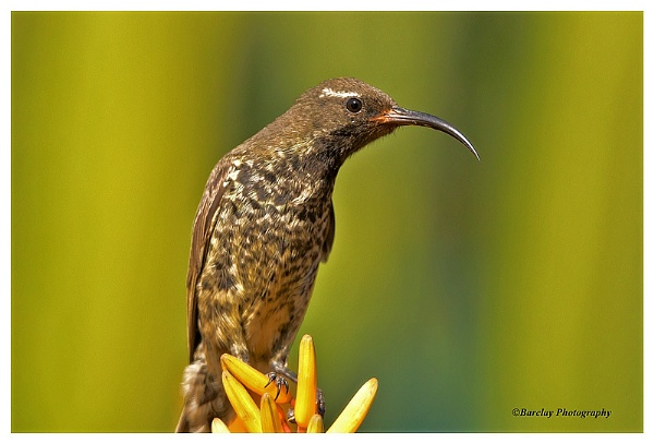 Sunbird by fatfranksfolley