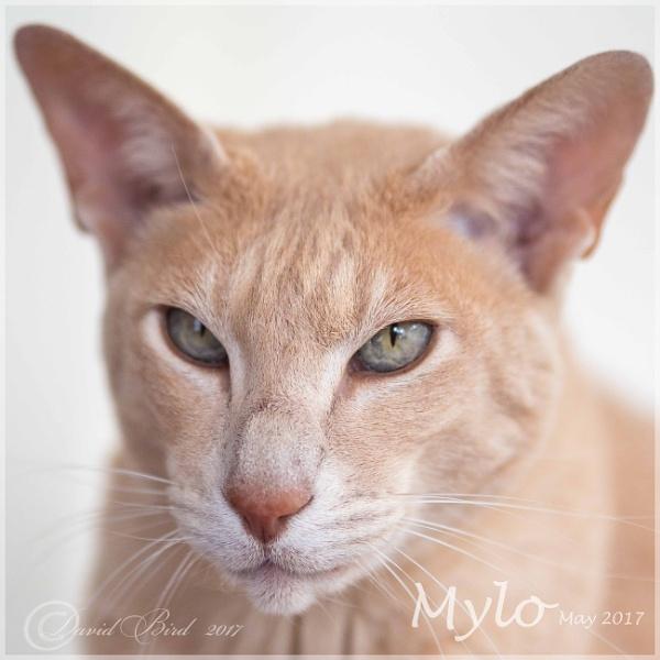 Mylo by DavidBird