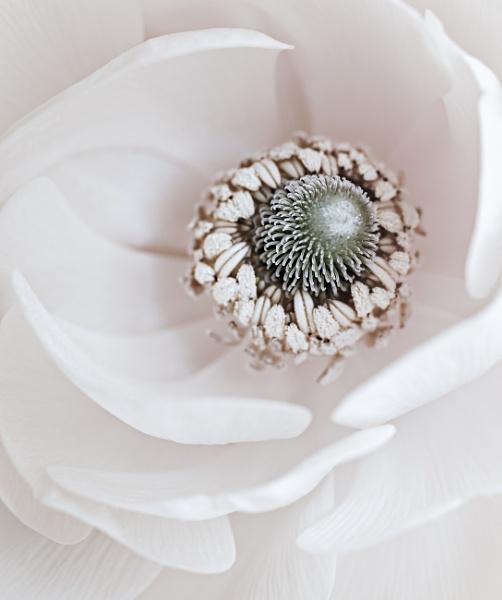 Ranunculus - Swirl by gowebgo