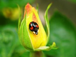 Ladybird on a rose