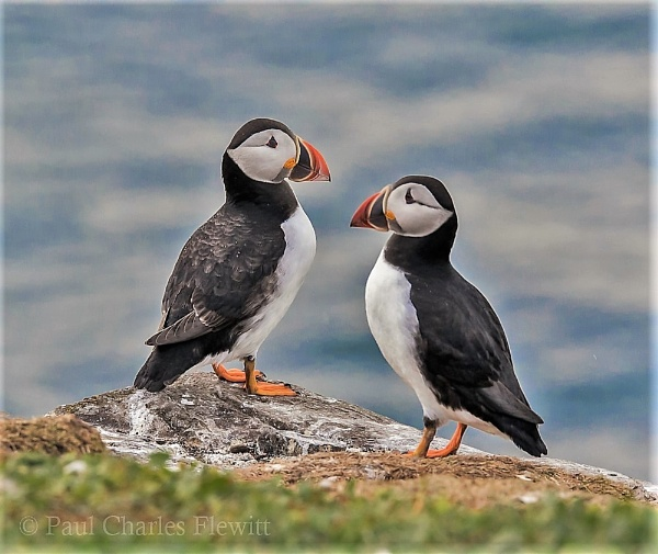 Mr & Mrs Puffin by Paulspix