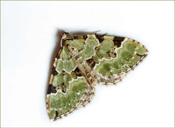 Green Carpet Moth by dark_lord