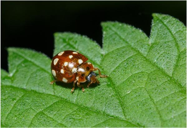 Cream Spot Ladybird by dark_lord