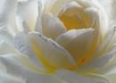 Princess Diana Rose by mashwood10