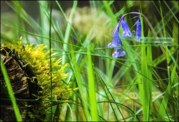 the last bluebells