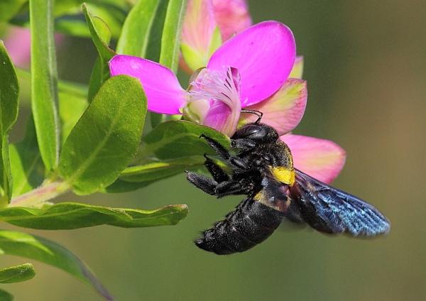 In Flight.( two banded Bee) by johnke