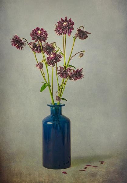 Aquilegia Black Barlow by flowerpower59