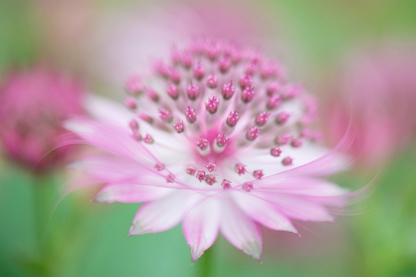 Astrantia by Danny1970