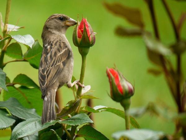 House sparrow by DerekHollis