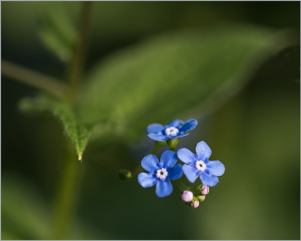 Forget-me-Nots by taggart