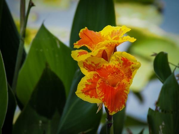 Iris by DaveRyder