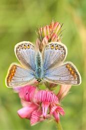 Common Blue--Polyommatus icarus.