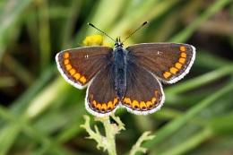 Brown Argus--Aricia agestis.