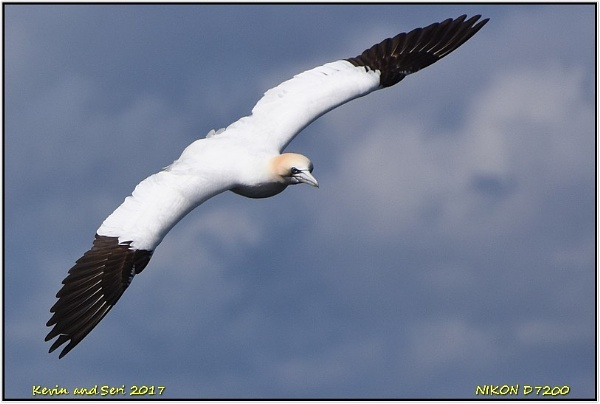 Northern Gannet by temporalwarp