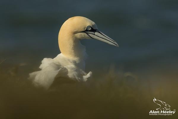 Gannet by AH1shot