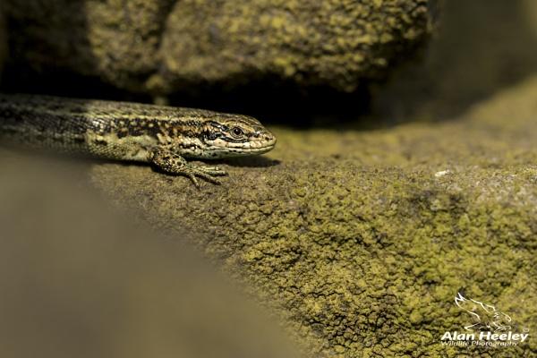 Common Lizard by AH1shot