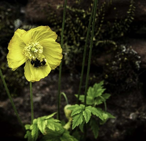 Welsh poppy by BillRookery