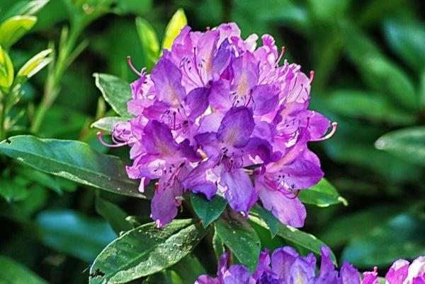 Lilac time by KrazyKA