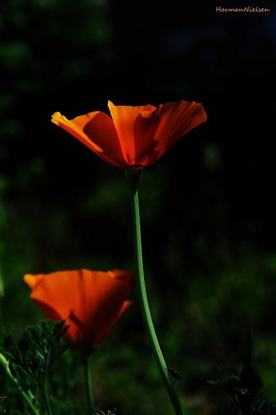 Orange&Black #2 by HarmanNielsen