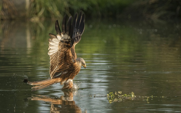 Red Kite testing the water by tomskibabes
