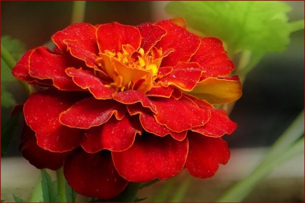 Marigold by Joline