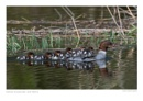 Female Goosander with Family by running_man