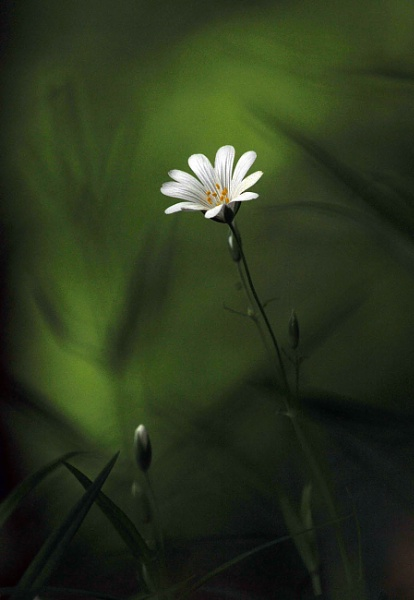 Stitchwort and Bud by viscostatic