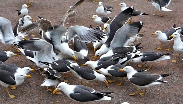 gull feeding frenzy by Steven_Tyrer