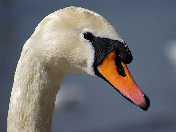 Swan Head by mudge