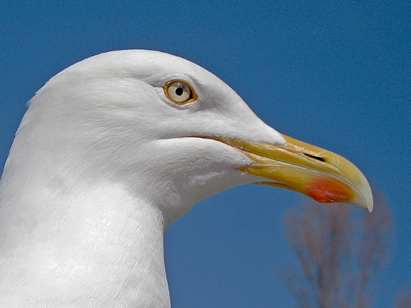 Gull\'s head by mudge